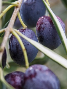 Olives, olive grove